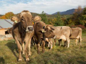 sugarhouse-cows